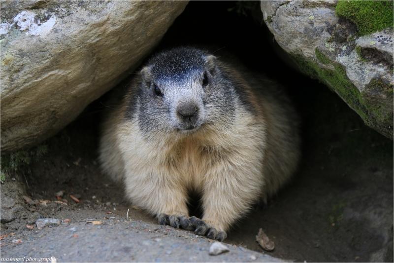 Greetings from Switzerland  Saas Fee - Septembre 2014  [i]La marmotte vit dans les montagnes entre 1 300 et 3 000 mètres d'altitude! C'est un petit animal charmant et emblématique de nos montagnes, si on ne les aperçoit pas toujours, elles se font entendre par leur sifflement pour donner l'alerte aux autres marmottes, qui vont se réfugier dans leur terrier.  La marmotte hiberne pendant 5 mois et demi. En automne elle mange énormément pour constituer les réserves de graisse qui lui permettront de survivre. Pour ne pas brûler ses réserves trop vite elle vit au ralenti. Son cœur bat très lentement. Elle se réveille environ toutes les quatre semaines pour faire ses besoins. S'il fait moins de 3 °C sous terre, la marmotte doit se réveiller et bouger pour ne pas mourir de froid.[/i]