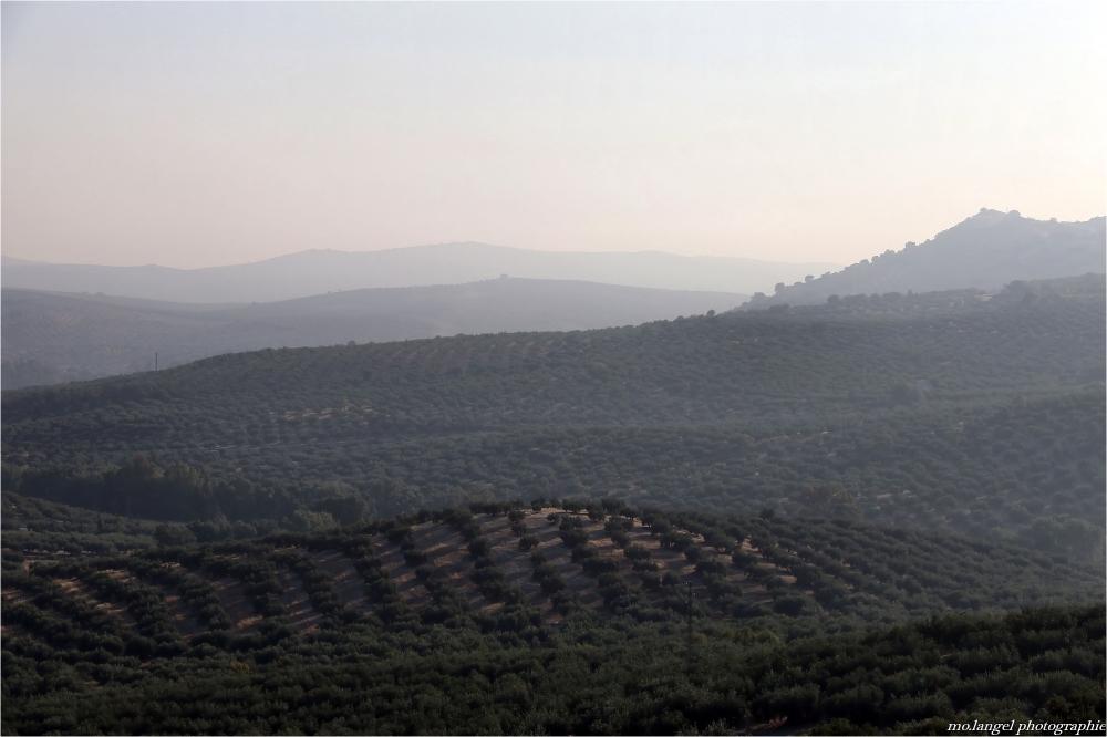 La brume se lève sur les oliviers