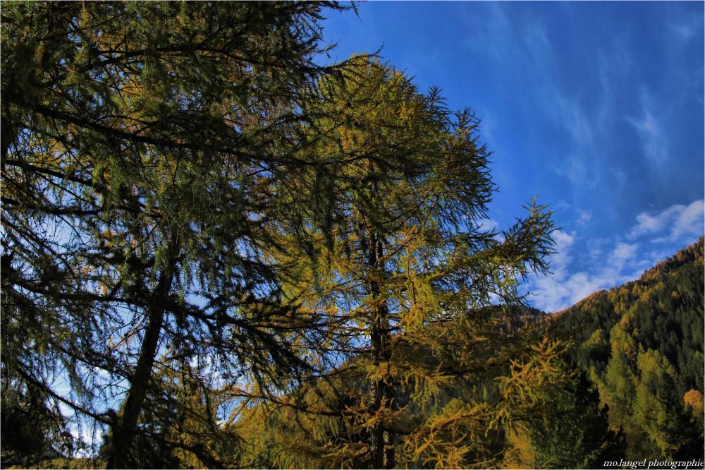 La forêt de mélèzes