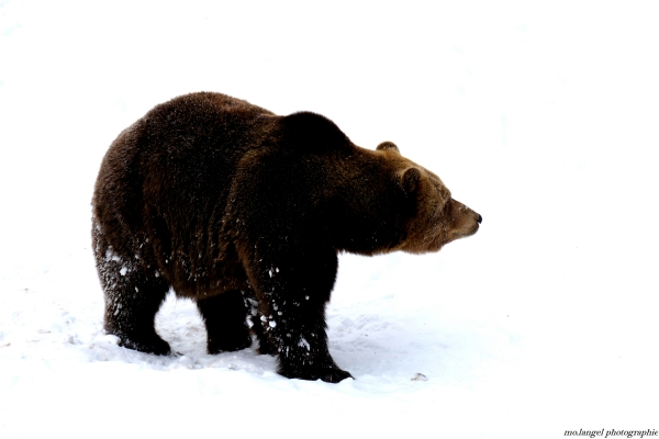 Un ours dans la neige