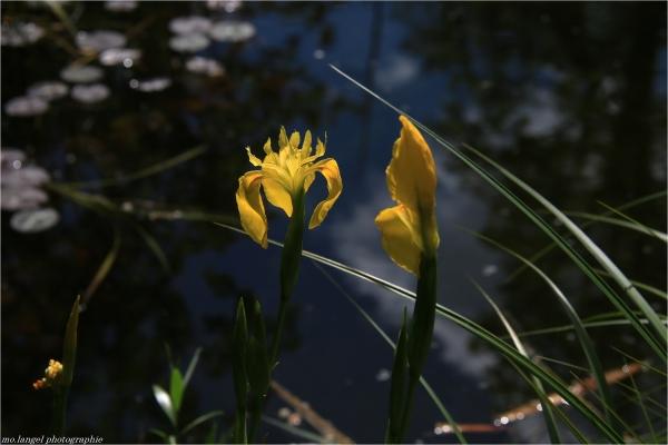 Iris du marais