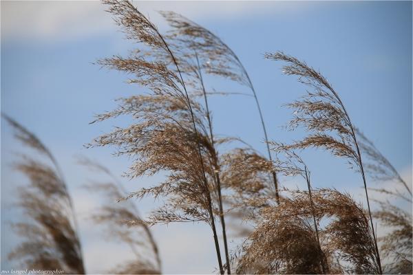 Le vent dans les roseaux