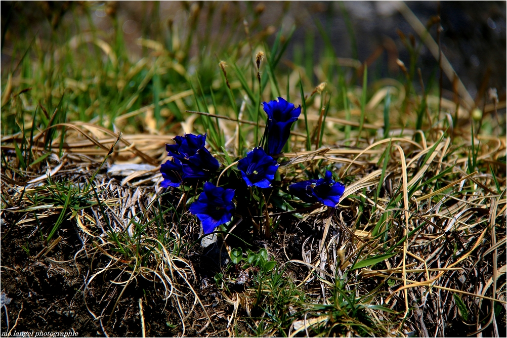 Les belles alpines