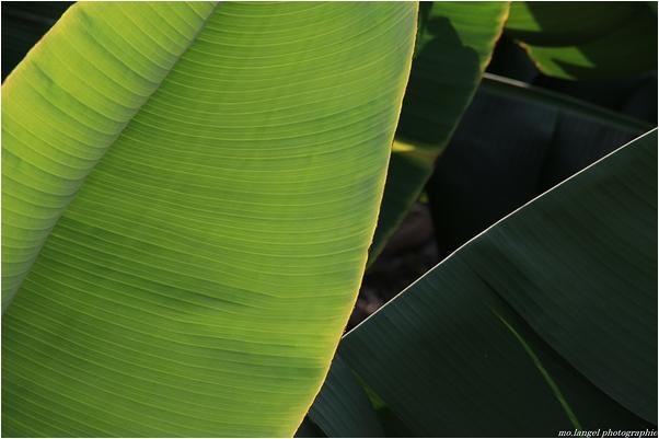 Vert comme les feuilles de bananiers