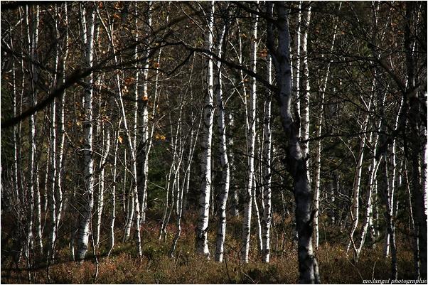 Au coeur de la forêt de bouleaux