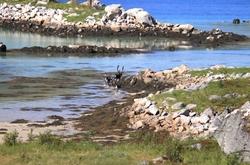 Le petit troupeau de rennes