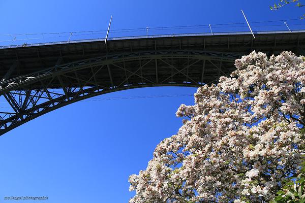 Le pont et le magnolia