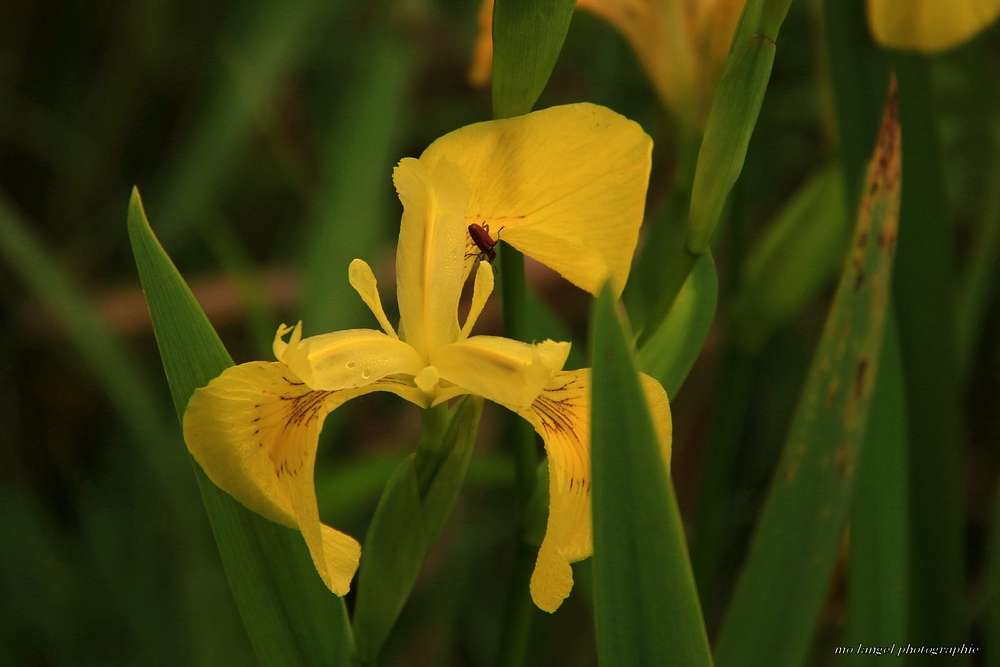 L'iris et l'insecte