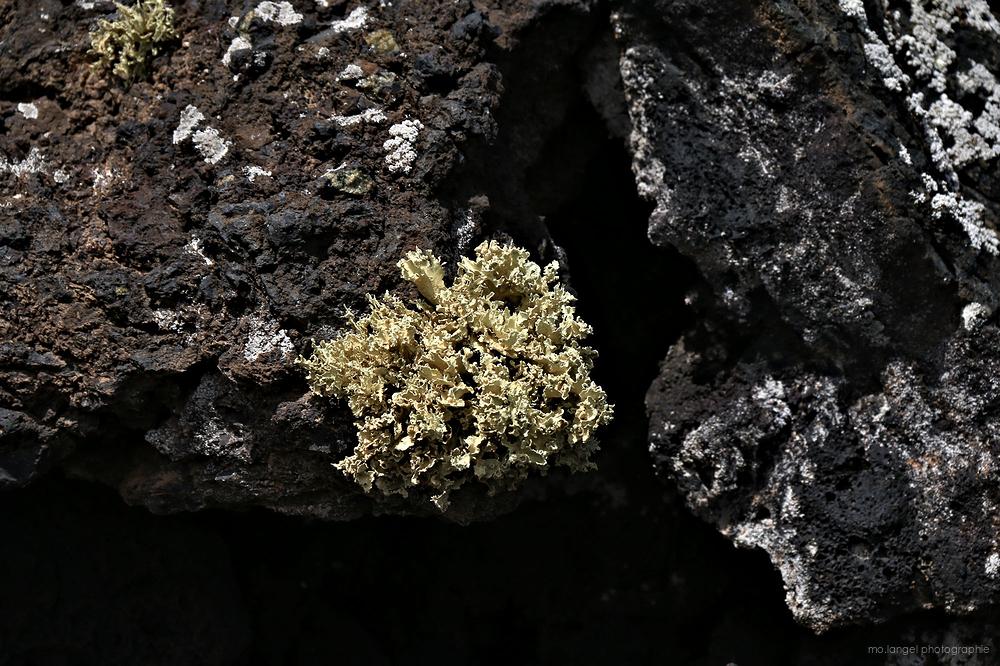 Le lichen sur lave