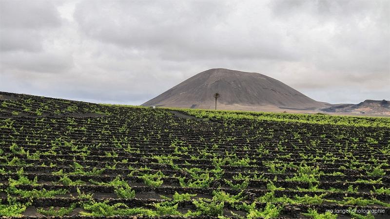 La vigne, le palmier et le volcan