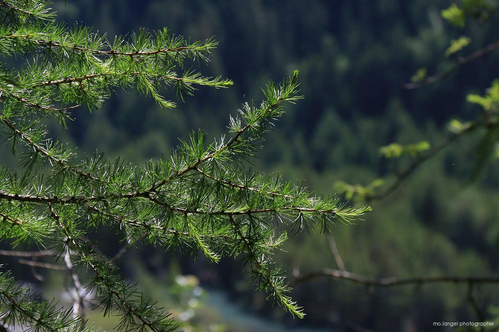 La branche de mélèze