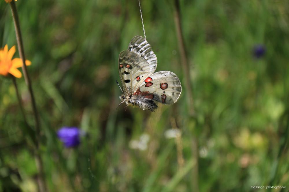 Sauver le papillon