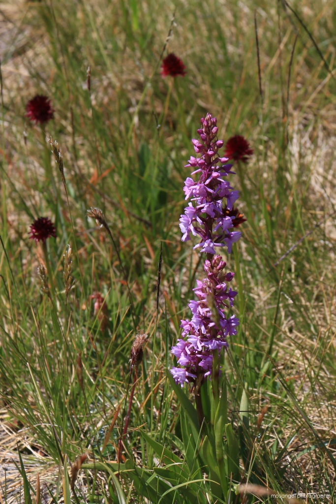 Orchis sauvages