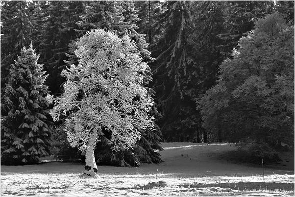 L'arbre en habit de dentelle de neige