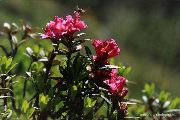 L'insecte et le rhododendron