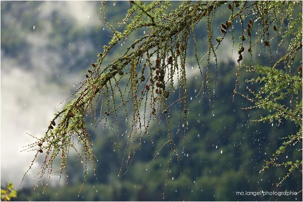 Il pleut sur le mélèze