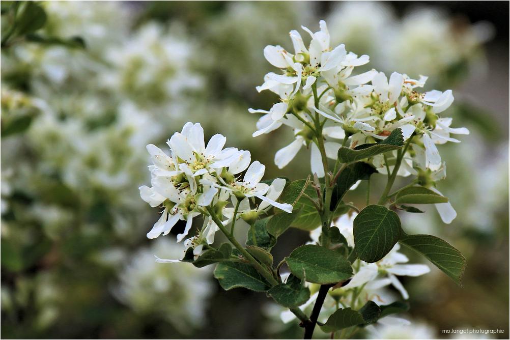 Fleurs d'amélanchier