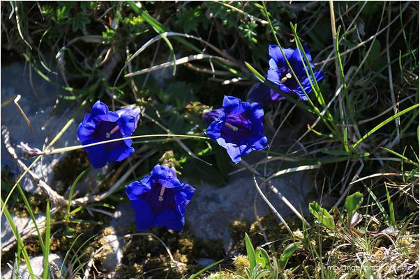 La grande gentiane bleue