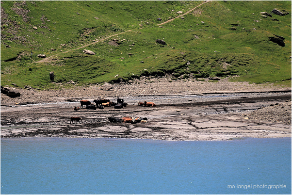 Les vaches à la plage