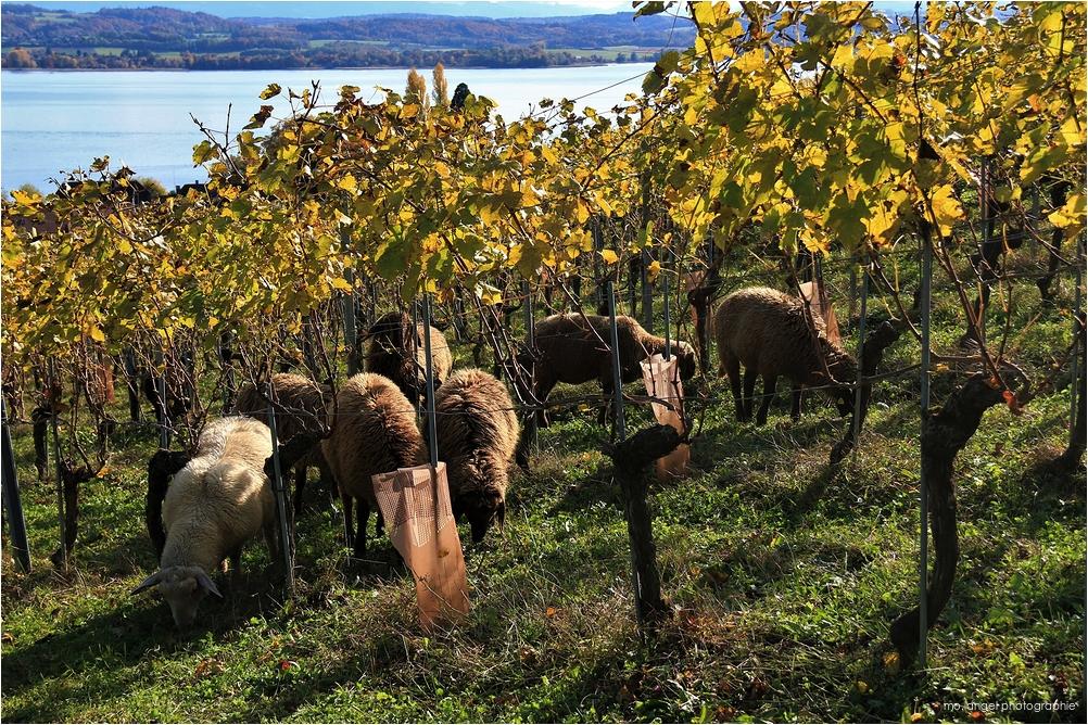 Les moutons dans la vigne