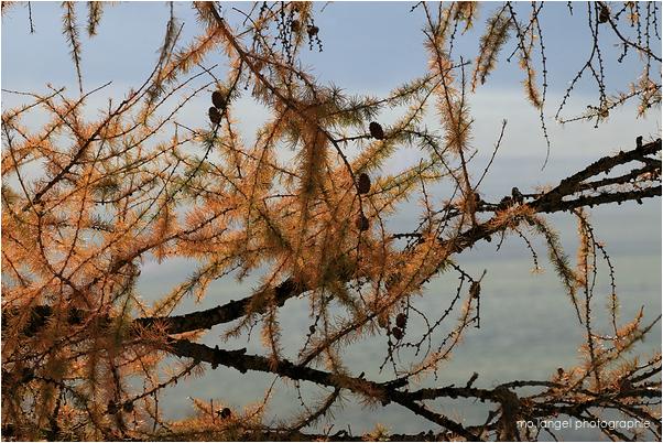 Mélèze d'automne