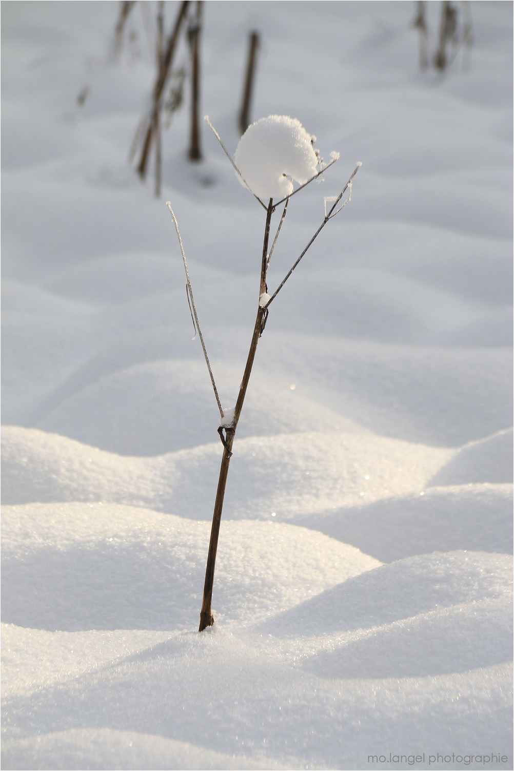 La fleur des neiges