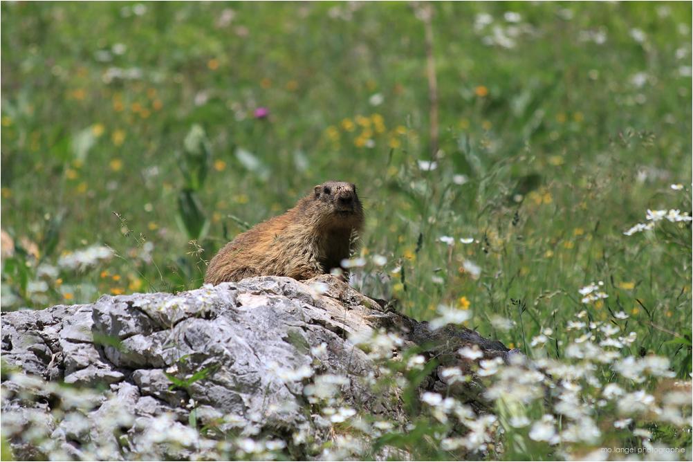 A la rencontre des marmottes