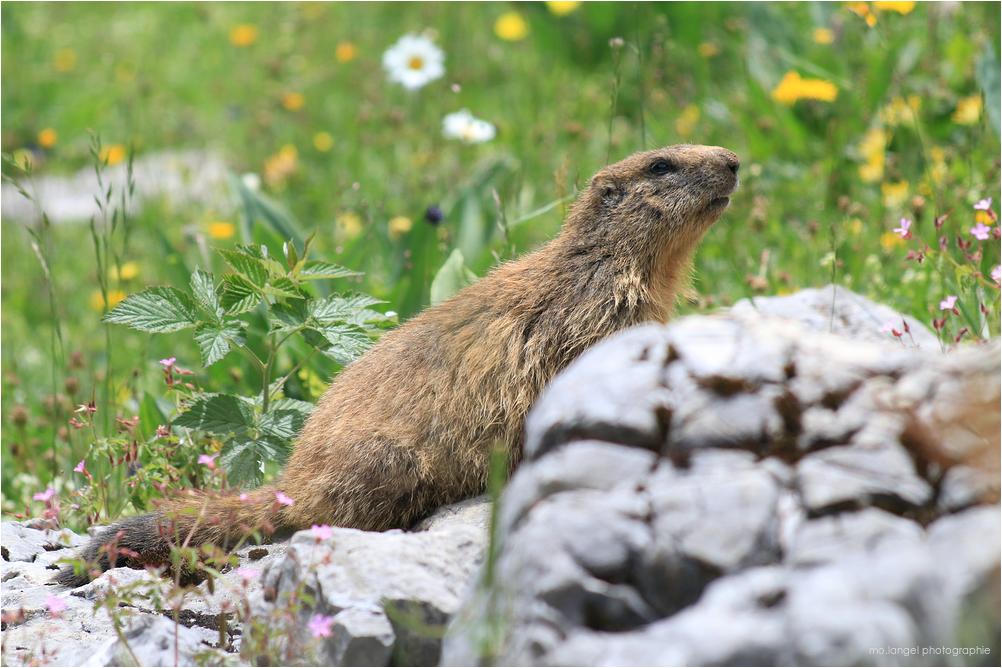 La mignonne petite marmotte