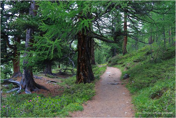 Le chemin sous les pins et mélèzes