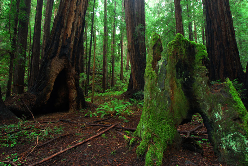 Underimpressive Redwood