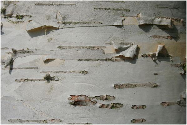 Silver Birch bark