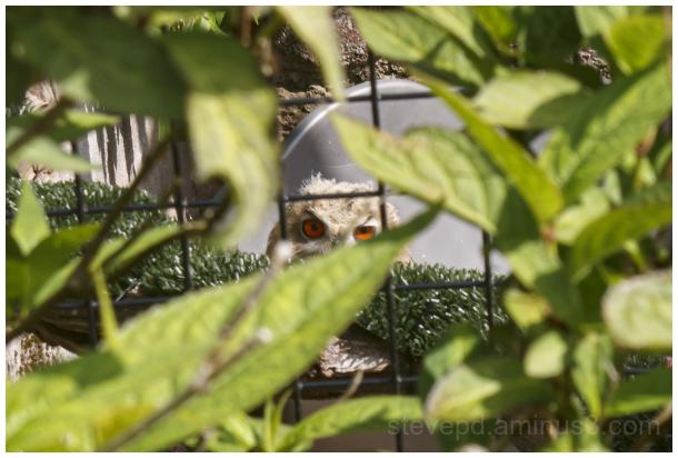 Owl's eyes staring through bushes.