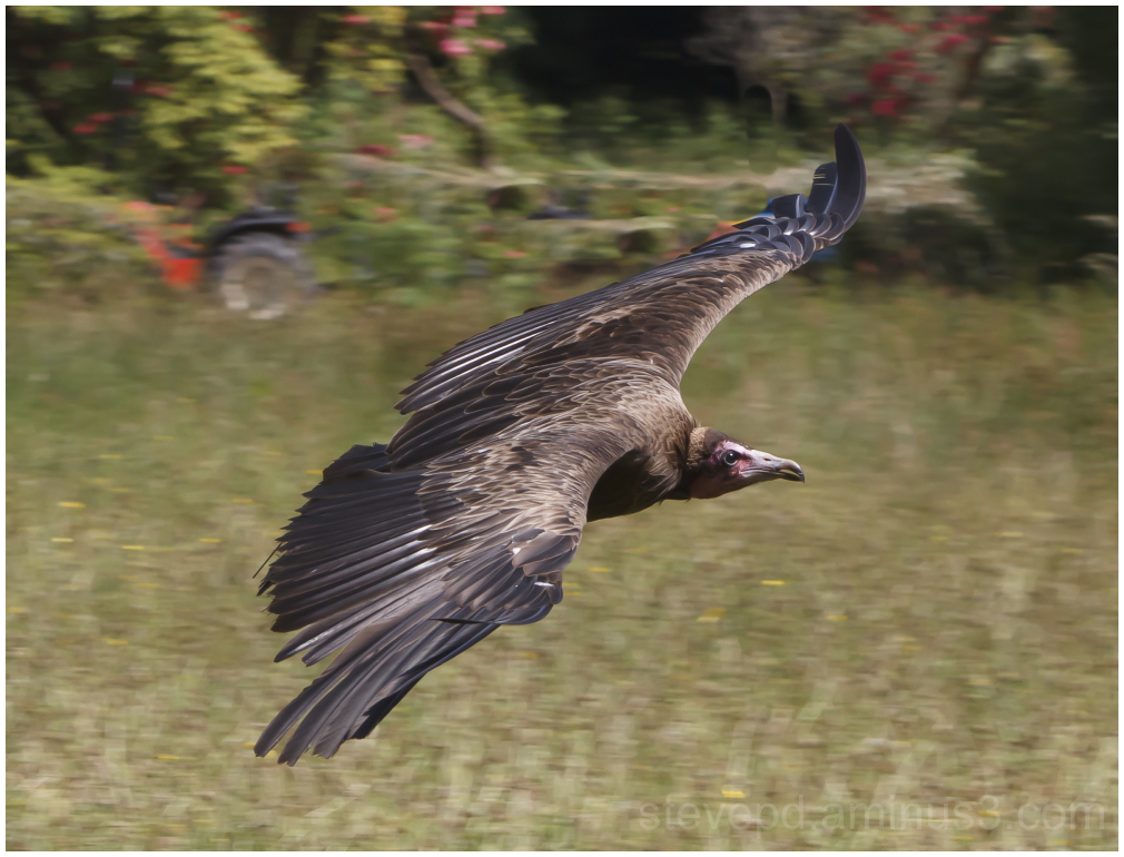 hooded vulture in flight