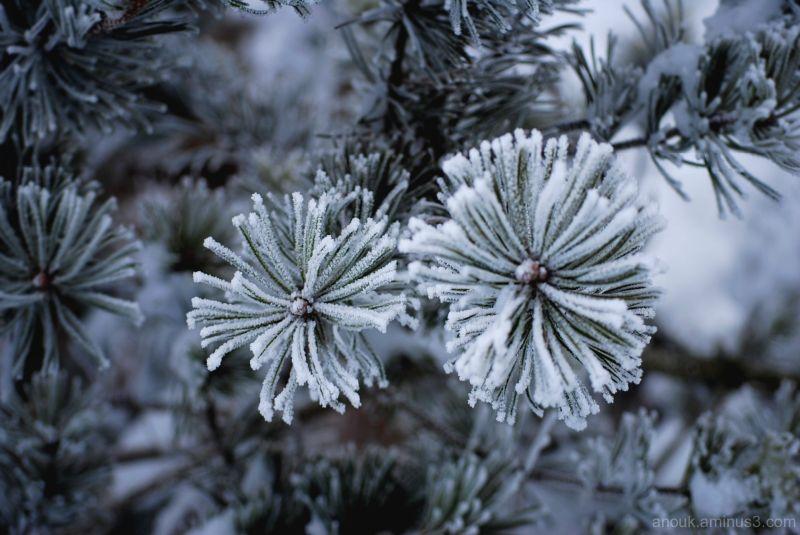 Pin en hiver