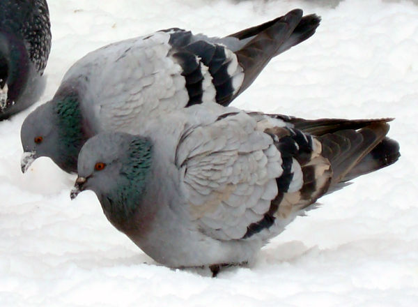 Doves on Snow, Montreal - Canada