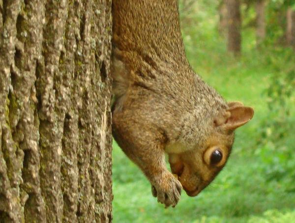Squirrel, Montréal - Canada