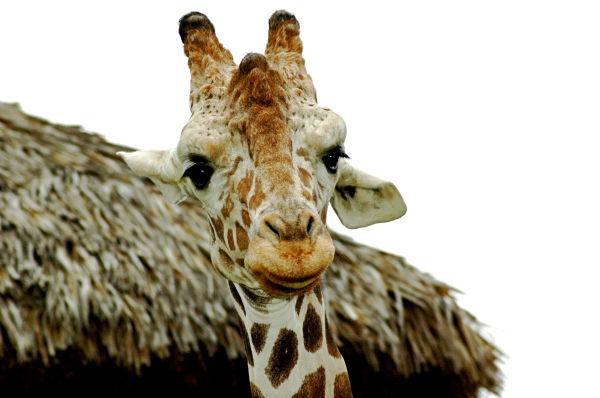 a giraffe