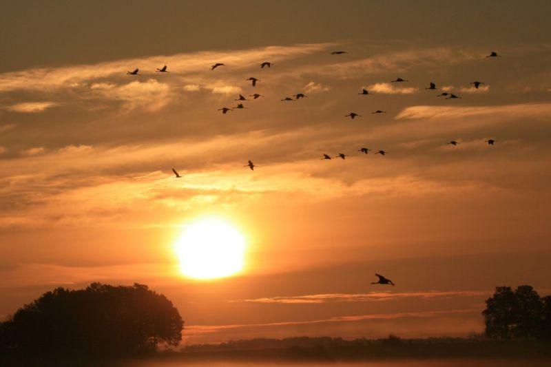 Grues au lever du soleil