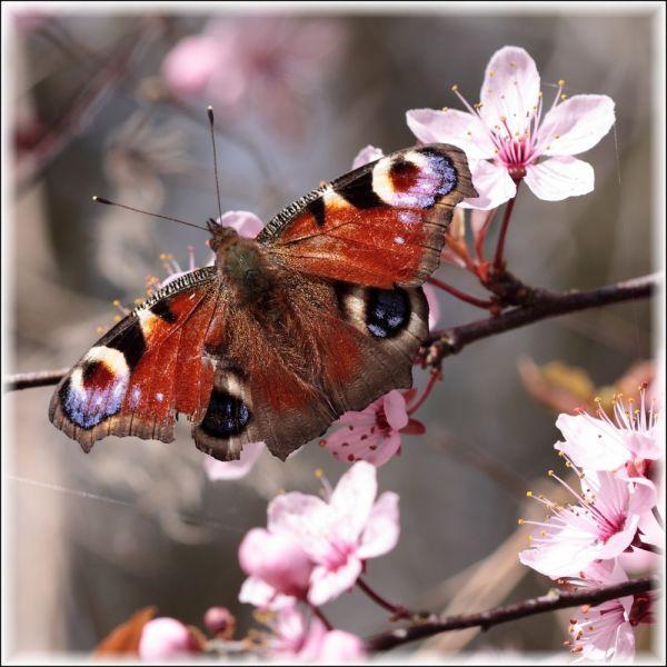 Paon de jour sur un prunier en fleurs