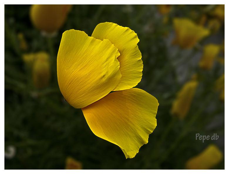 Pètals grocs