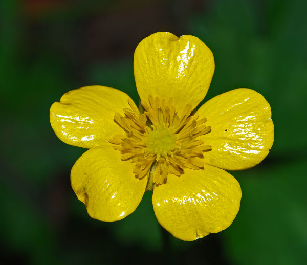 Yellow Weed flower.