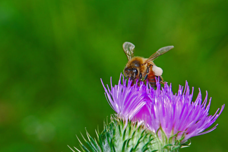 bee and wild flower