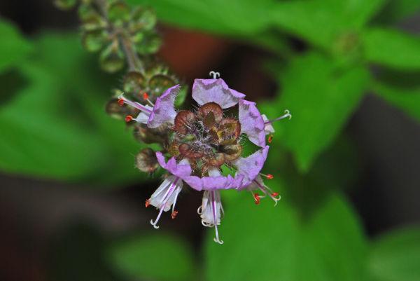 basil flower: Herb
