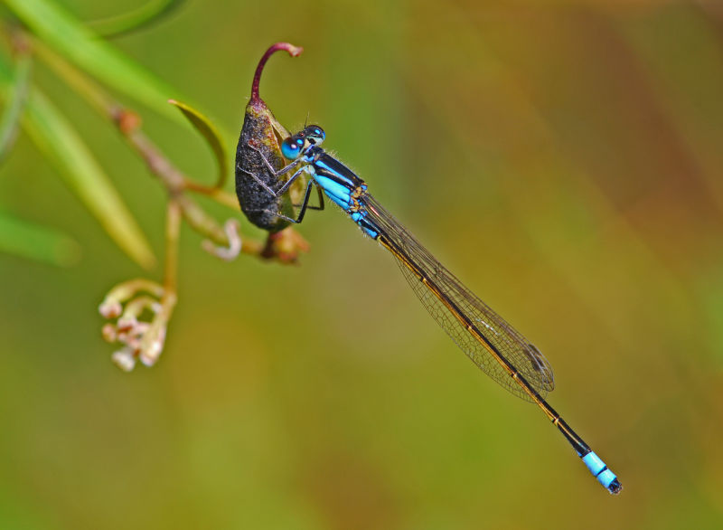 damselfly-blue