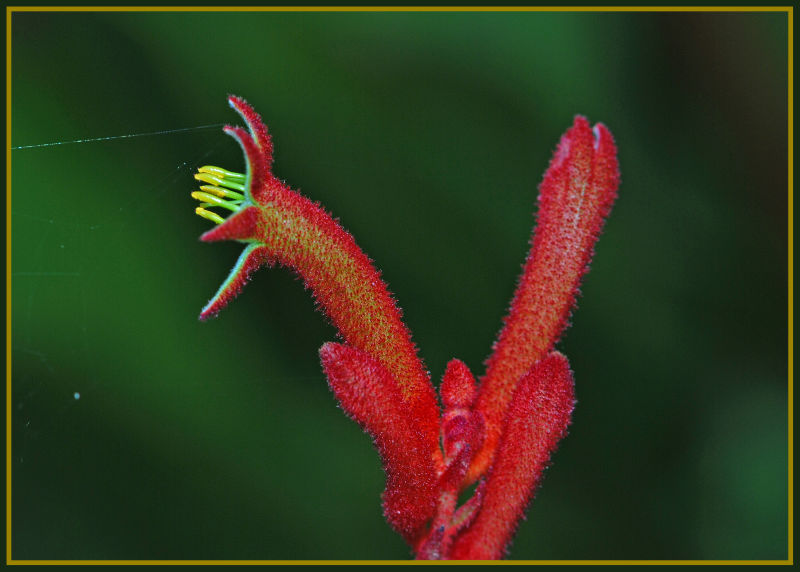 red kangaroo paw - plant