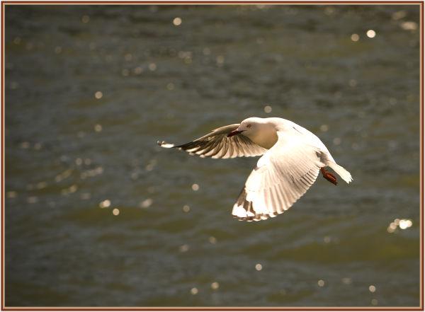 seagull in backlight