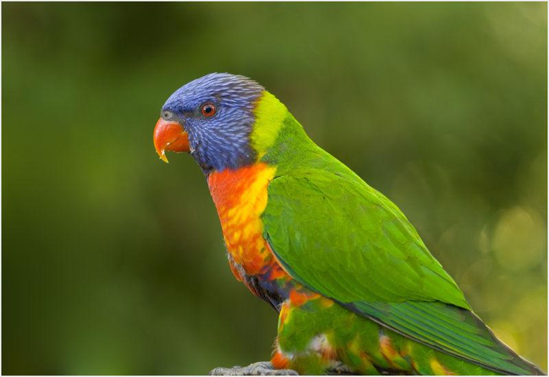 rainbow lorikeet 3