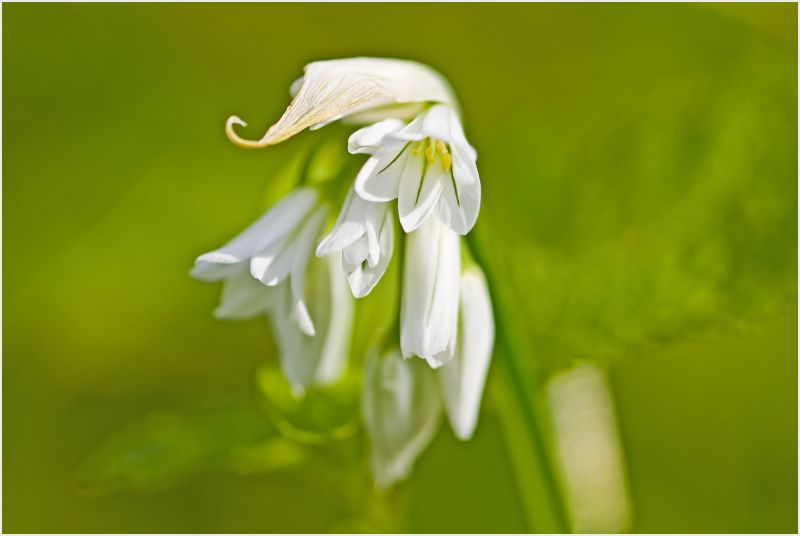 small white lily