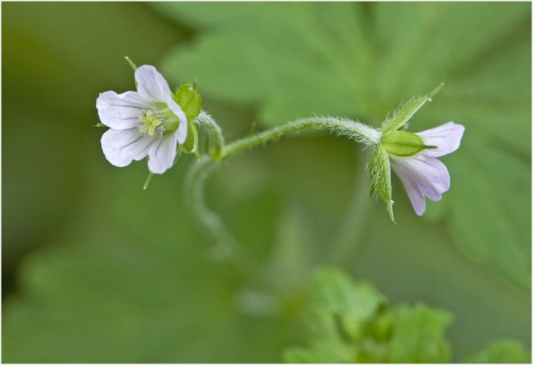small violet wild flower