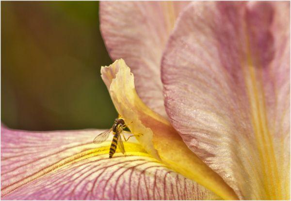 bug and iris